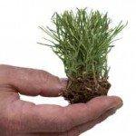 Zoysia Grass Plug