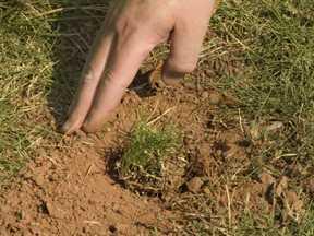 Planting zoysia image