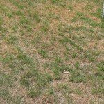 COOL SEASON GRASS DURING DRY HOT SUMMERS